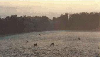 Roe-deer-in-the-morning